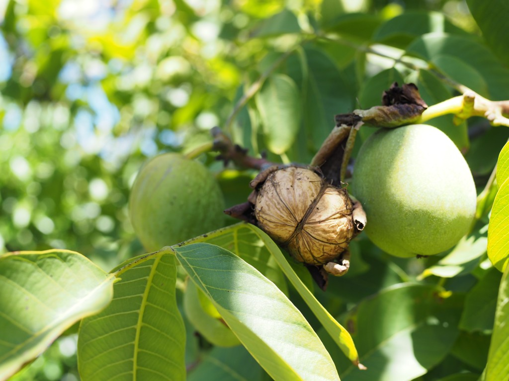 Walnuts start out with thick green skins, once the skins crack and shrivel, the nuts are ready to harvest.